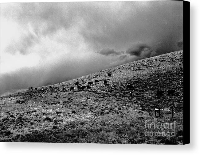 Cattle Canvas Print featuring the photograph Before The Storm by Susan Chandler