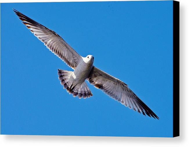 Gull Canvas Print featuring the photograph He Caught Me Snapping His Photo by Mary Anne Williams