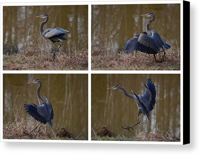 Paul Lyndon Phillips Canvas Print featuring the photograph Quadriptych Landing Heron - 9529d by Paul Lyndon Phillips
