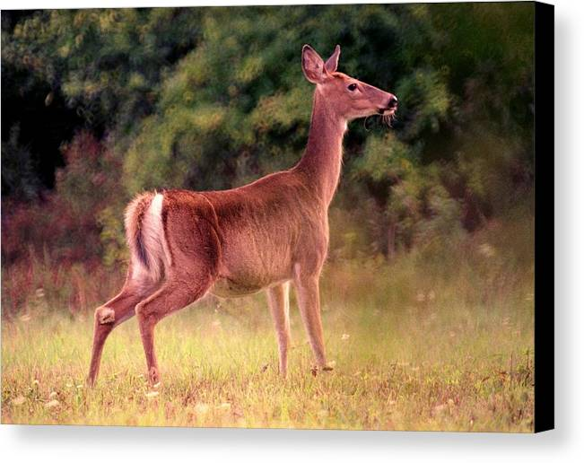Deer Canvas Print featuring the photograph 070406-57 by Mike Davis