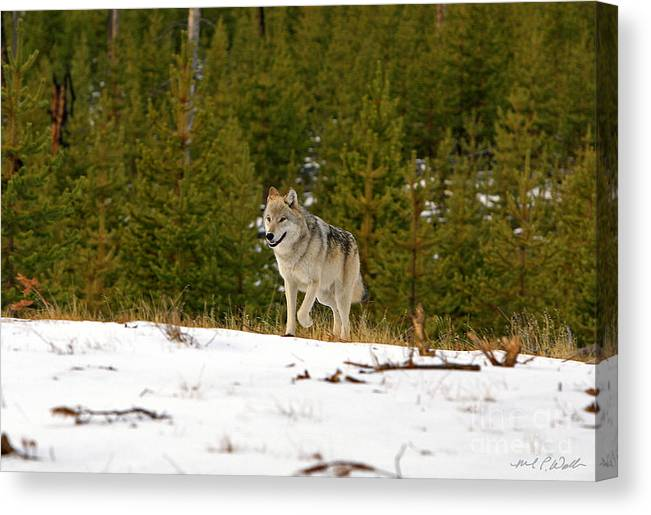 Wolf Canvas Print featuring the photograph Alpha Trot by Michael Waller