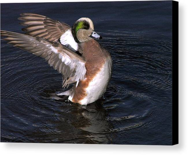 Duck Canvas Print featuring the photograph Proud As Punch by Owen Ashurst