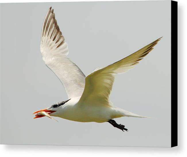 Royal Tern Canvas Print featuring the photograph Royal Tern by Andrew McInnes