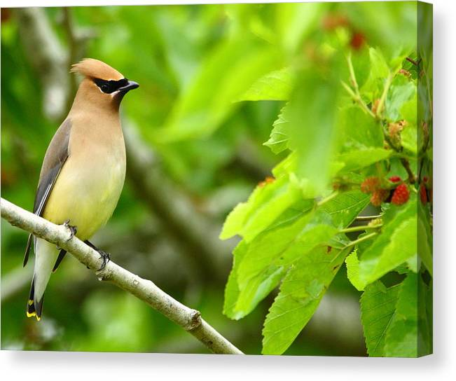 Cedar Waxwing Canvas Print featuring the photograph Cedar Waxwing by Andrew McInnes
