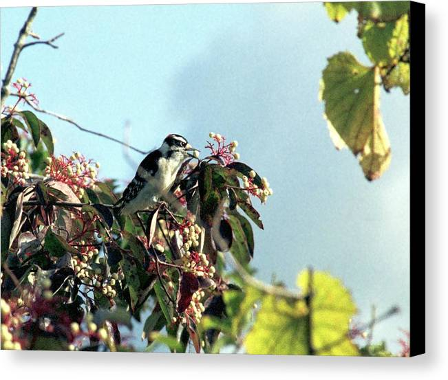 Woodpecker Canvas Print featuring the photograph 070406-52 by Mike Davis