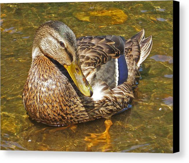 Female Canvas Print featuring the photograph Mallard Duck by Mary Anne Williams