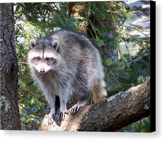 Racoon Canvas Print featuring the photograph Treed by Mark Cheney