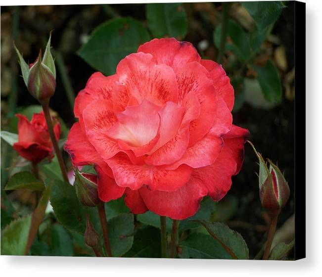 Rose Canvas Print featuring the photograph Victoria Rose by Mark Cheney