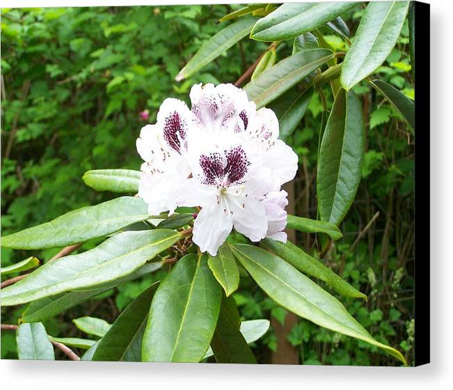 White Canvas Print featuring the photograph White Rhodie by Mark Cheney
