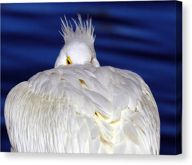 American White Pelican Canvas Print featuring the photograph Peekaboo by Andrew McInnes