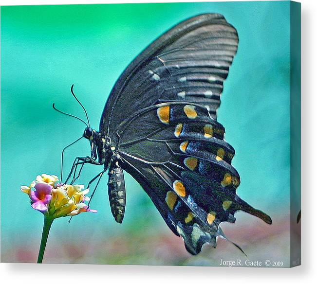 Butterfly Canvas Print featuring the photograph Black Eastern Swallow Tail by Jorge Gaete