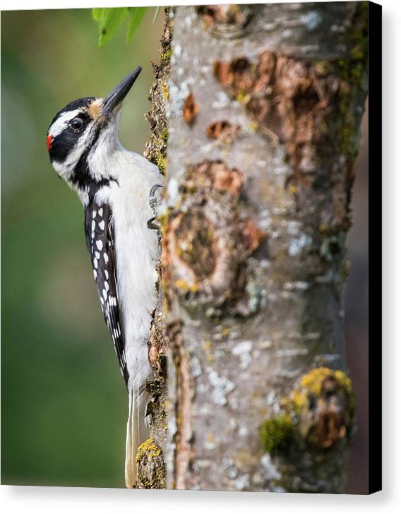 Alaska Canvas Print featuring the photograph Woodpecker by Gloria Anderson