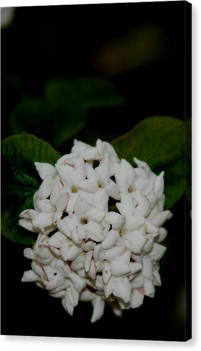 White Blossom Canvas Print featuring the photograph White Blossom by Patrick Short