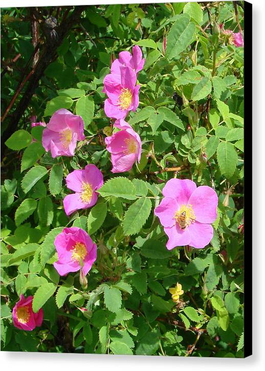 Roses Canvas Print featuring the photograph Wild Roses by Ed Mosier