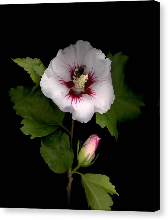 Rose Of Sharon Canvas Print featuring the digital art Rose of Sharon by Sandi F Hutchins