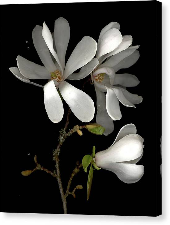 Scanography Canvas Print featuring the photograph April Magnolia by Sandi F Hutchins