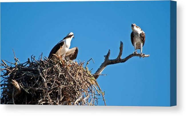 Osprey Canvas Print featuring the photograph You Lookin At Me by Christine Stonebridge
