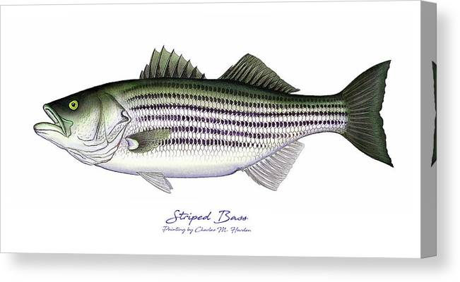 Striped Bass Canvas Print Canvas Art By Charles Harden