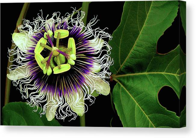 Hawaii Iphone Cases Canvas Print featuring the photograph Passion Flower by James Temple
