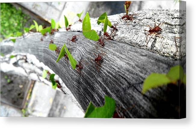 Leaf Cutter Ant Canvas Print featuring the photograph Close-Up Of Ants Carrying Leaves by Carlos Ángel Vázquez Tena / EyeEm
