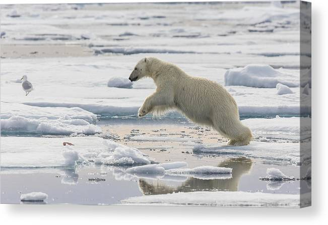 Nis Canvas Print featuring the photograph Polar Bear Jumping by Peer von Wahl