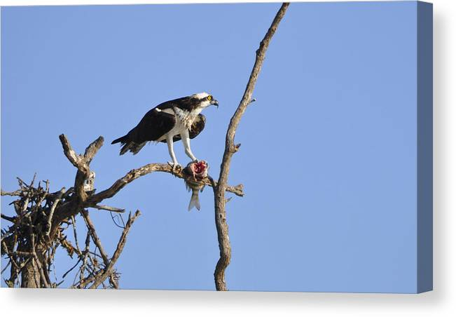 Osprey Canvas Print featuring the photograph Osprey with Catch II by Christine Stonebridge