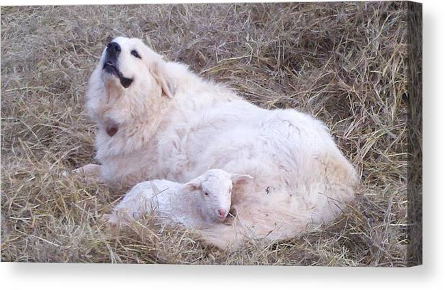 Great Pyrenees Dog Canvas Print featuring the photograph Isabel and Molly 2 by Ginger Concepcion