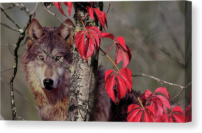A Wolf Behind A Birch Tree Canvas Print featuring the photograph Autumn Wolf by Gordon Semmens