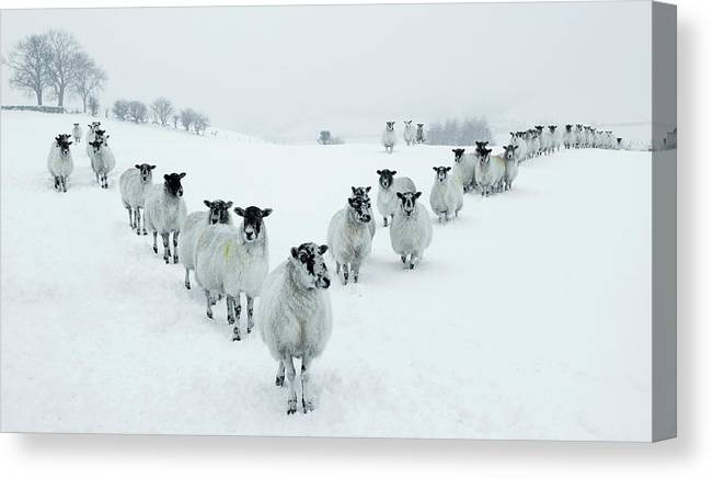 Cool Attitude Canvas Print featuring the photograph Winter Sheep V Formation by Motorider