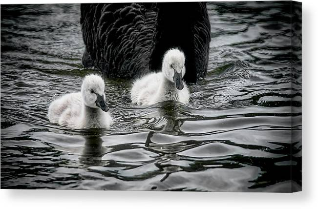 Black Swan Cygnets Canvas Print featuring the photograph Young 'uns, Black Swan Cygnets by Zayne Diamond Photographic