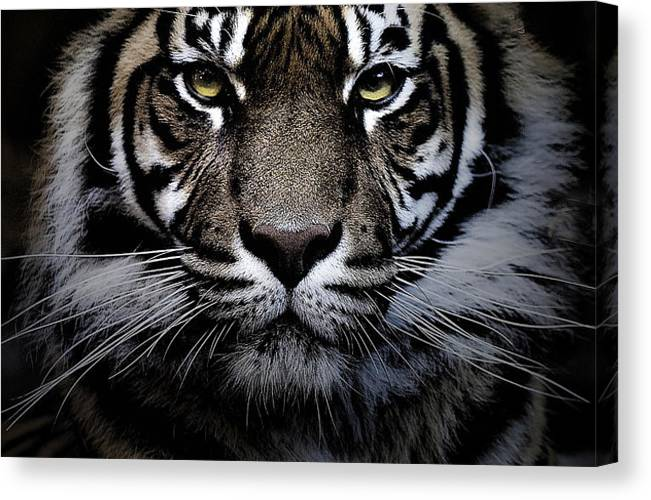 Animal Canvas Print featuring the photograph Sumatran tiger by Sheila Smart Fine Art Photography