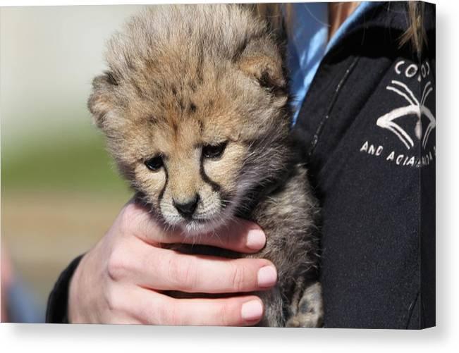 Baby Cheetah At Columbus Zoo by Dan Sproul