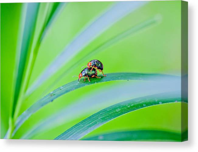 Bugs Canvas Print featuring the photograph Bug Mating by Az Jackson
