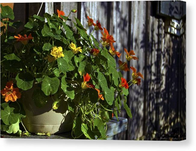 Flowers Canvas Print featuring the photograph Nasturtiums by Heather S Huston