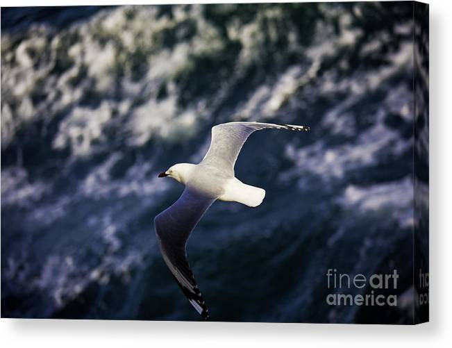 Seagull Canvas Print featuring the photograph Seagull in wake by Sheila Smart Fine Art Photography