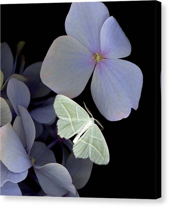 Canvas Print featuring the photograph The Night Moth by Sandi F Hutchins