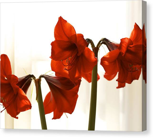 Limited Time Promotion: Amaryllis By Morning Light Stretched Canvas Print