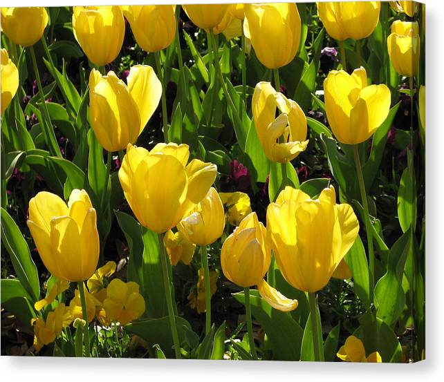 Limited Time Promotion: Tulips In The Sunshine Stretched Canvas Print