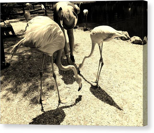 Sepia Tone Canvas Print featuring the photograph Flamingo Feeding Fest by Lori-Anne Fay