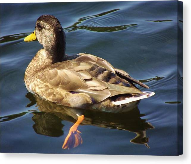 Duck Canvas Print featuring the photograph Navigatinng The Pond by Lori-Anne Fay