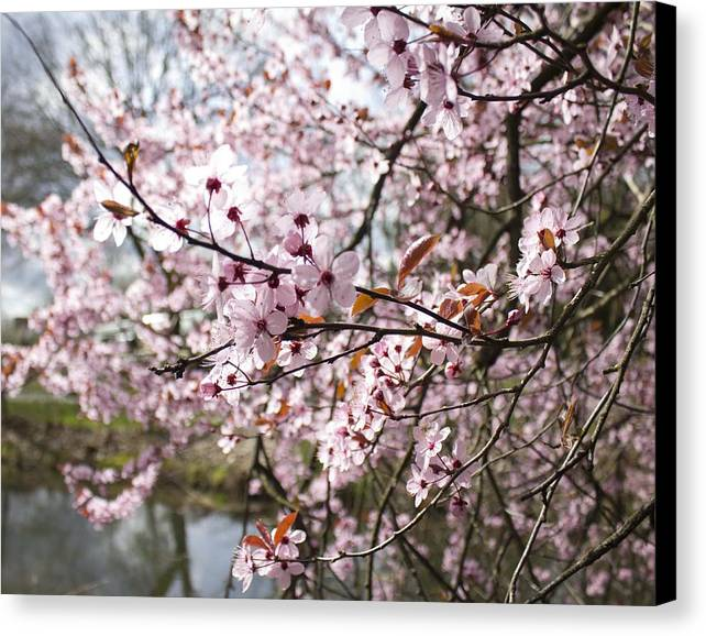Cherry Blossom Canvas Print featuring the photograph Cherry Blossoms by Michelle Torres