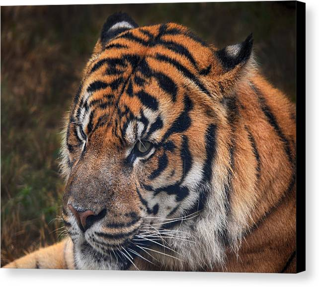 Tiger Canvas Print featuring the photograph Tiger Portrait by Maggy Marsh