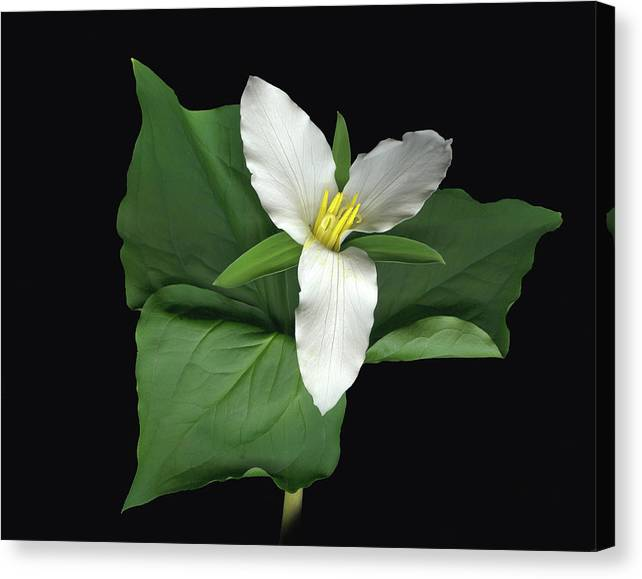Trillium. Wake Robin Canvas Print featuring the digital art Trillium by Sandi F Hutchins
