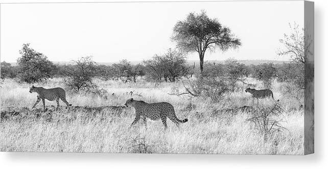 Cheetah Canvas Print featuring the photograph Three Cheetahs At Mashatu by Max Waugh