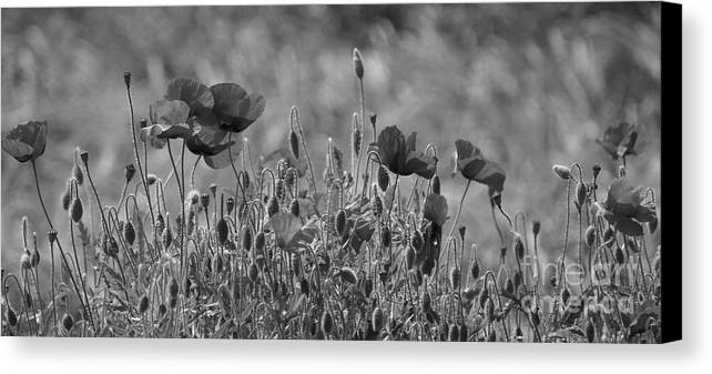 Poppies Canvas Print featuring the photograph Colour Blind Poppies 2 by Carol Lynch