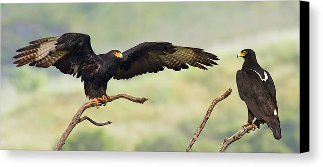 Eagle Canvas Print featuring the photograph Black Eagles by Basie Van Zyl