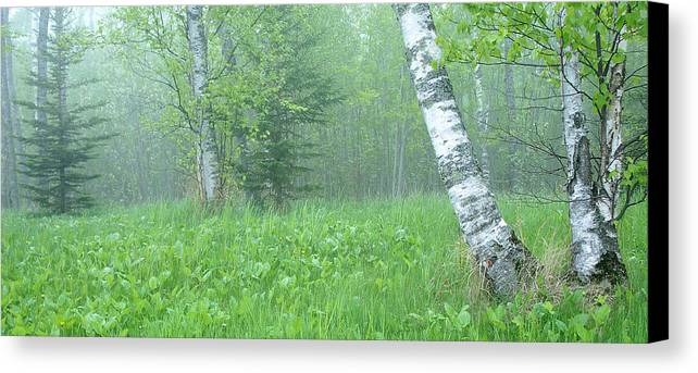 Landscape Canvas Print featuring the photograph Silent Birch by Bill Morgenstern