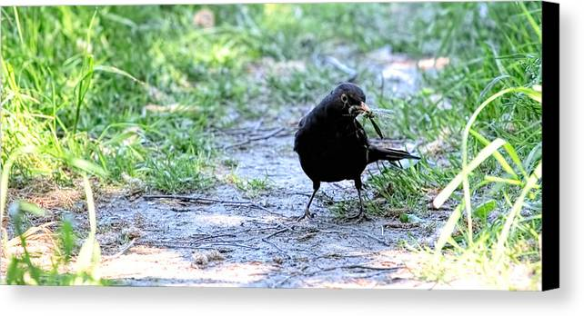 Common Blackbird Gathering Food Canvas Print featuring the photograph Don't Try With Me by Leif Sohlman