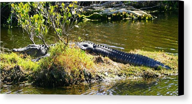 Big Gator Canvas Print featuring the photograph Just Taken In A Few Rays by Jeanne Andrews