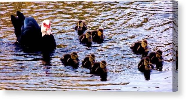 Ducks Canvas Print featuring the photograph Late Spring Morning Swim by Lori-Anne Fay